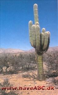 Vanding af kaktus
