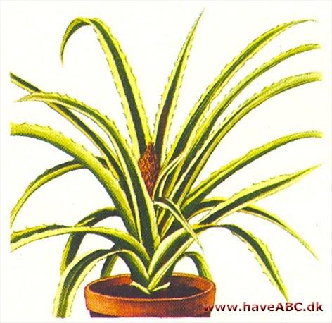 som kommer fra ananas nøgen kunst