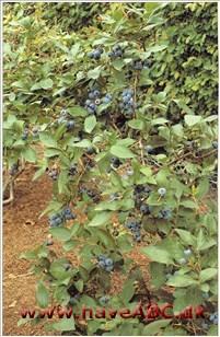 bedste blåbær