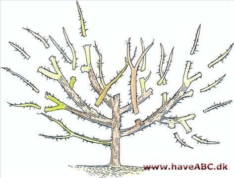 beskæring af frugttræer hvordan