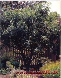 flytning af æbletræ