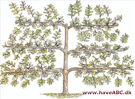 espalier æbletræ