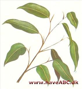 Birkefigen - Ficus benjamina - haveabc.dk