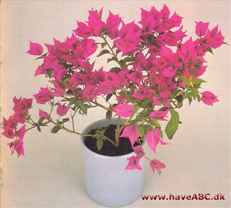 Bougainvillea potteplanter