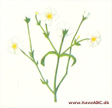brudeslør blomst engelsk