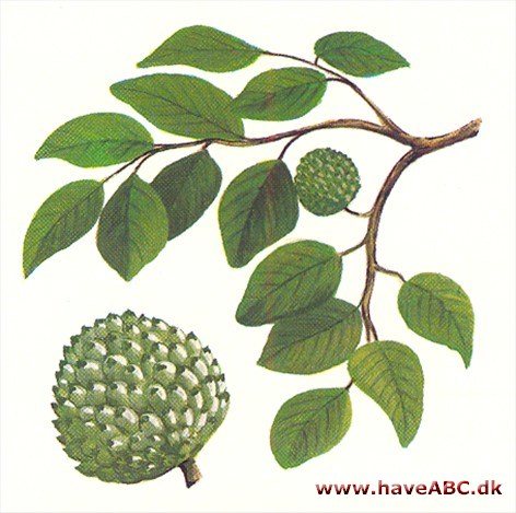 annona guys Soursop (annona muricata l), also known as graviola, guyabano, guayabano  guanabano and babana, is a shrub or small tree 3-10 meters in height.