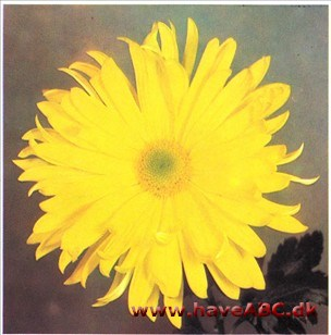 chrysanthemum pasning