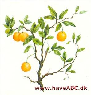 Pasning af appelsintræ