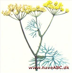 dild plante