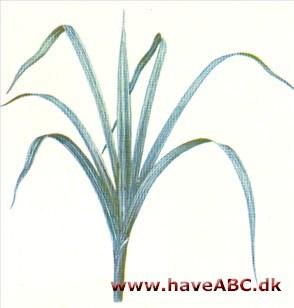 tokimbladede planter