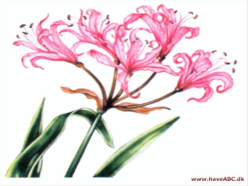 lilje betydning