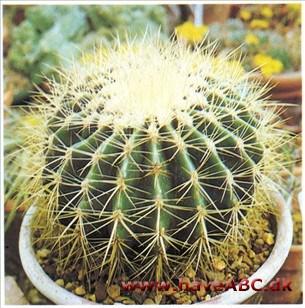 Kaktus arter