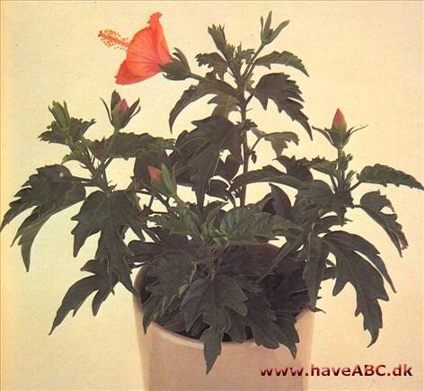 Hawaii blomster frø