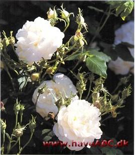 hvide rosers betydning