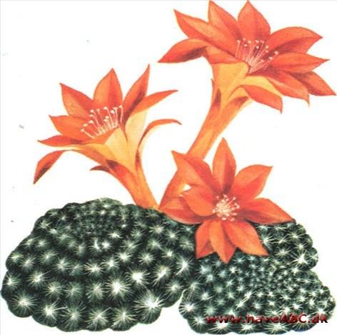 Kaktus   haveabc.dk
