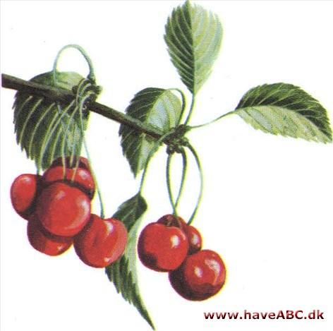 sure kirsebær