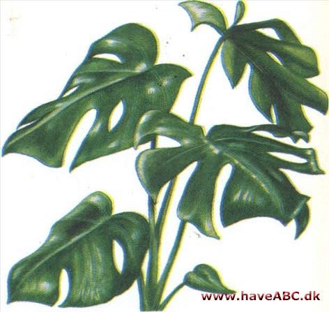 plante med hjerteformede blade