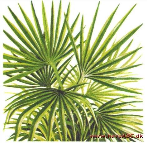 Beskæring af palmer