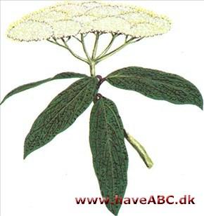 rynkeblad busk