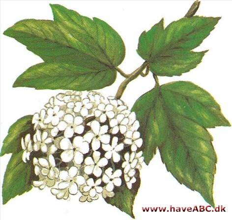 Snebolle Viburnum Opulus Roseum