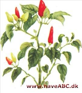 peberfrugt plante højde