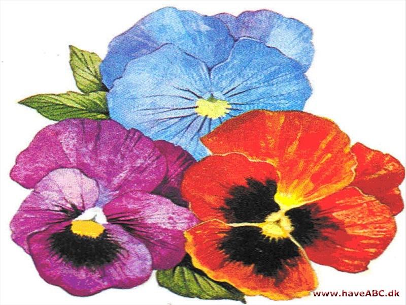 GartenStiefmütterchen  Wikipedia