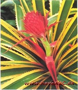 eskortere com som kommer fra ananas