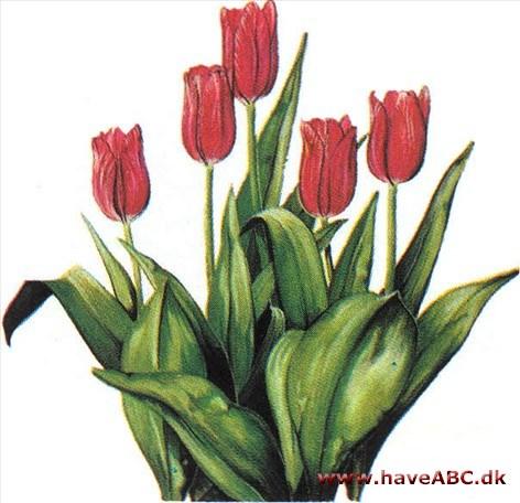 tulipan tegning