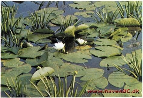 Vandplanter i søer