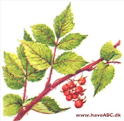 vinbrombær