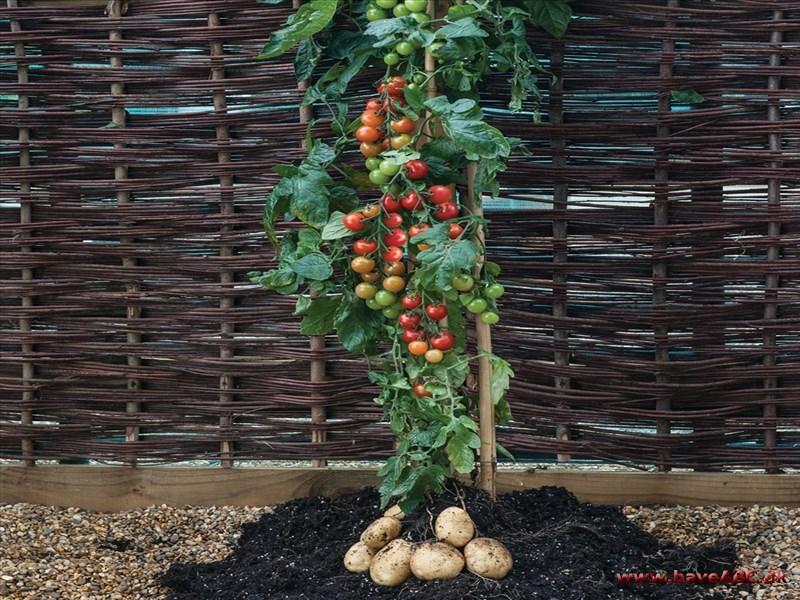 plante tomater