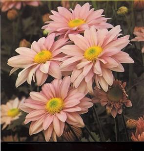 Krysantemum blomster