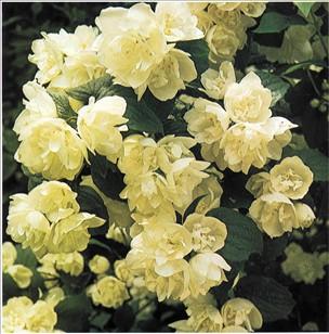 Ægte jasmin plante