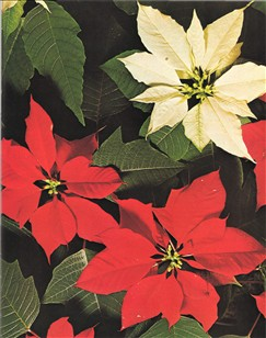 Hvordan få julestjerne til å blomstre igjen