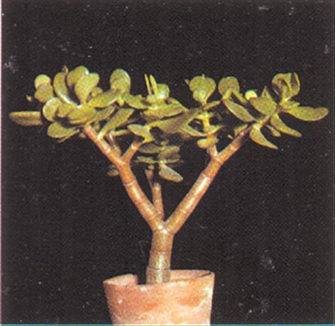 Kaktus rødder