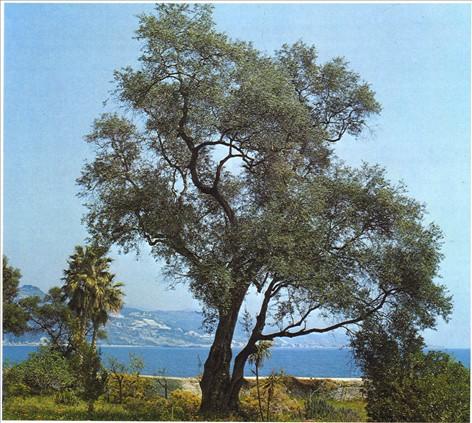 Plantning af oliventræ