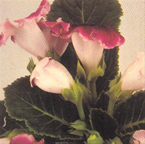 Gloxinia   sinningia speciosa   pasning   haveabc.dk