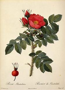 den yndigste rose chat uden oprettelse
