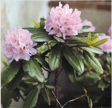 rhododendron blomstrer ikke