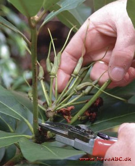 3 m der at besk re rhododendron for How to care for rhododendrons after blooming