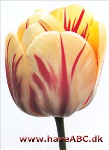 Burning Heart - Tulipan, Tulipa