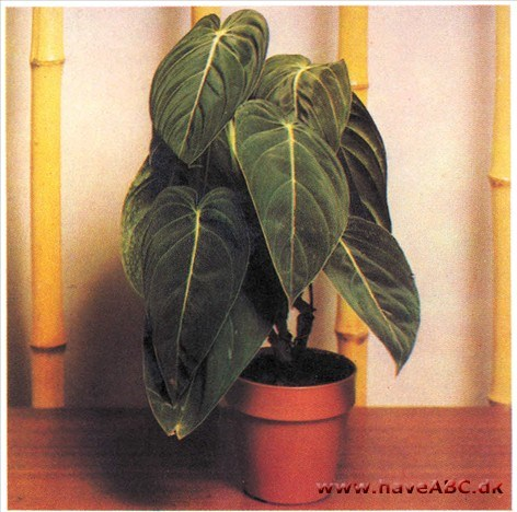 Fløjlsfilodendron - Philodendron andreanum (syn. melanochryson)