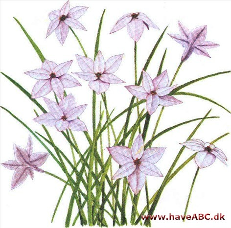 Ipheion - Ipheion uniflorum