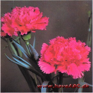 Nellike - Dianthus x suffruticosus syn. caryophyllus