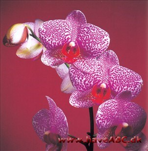 Phalaenopsis Brother Wild Thing