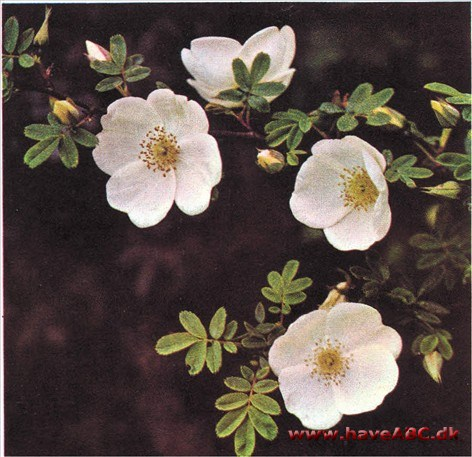 Rosa omeiensis