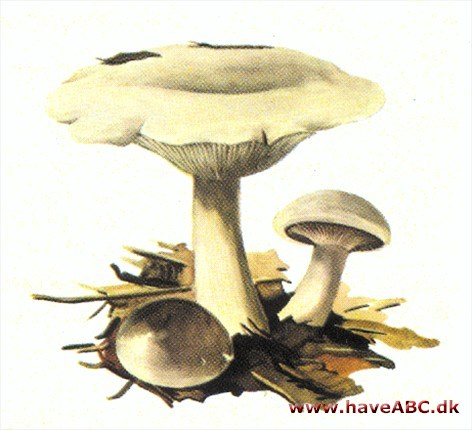 Tragthat - Clitocybe
