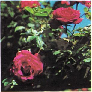 Sativa rose sprøjtning