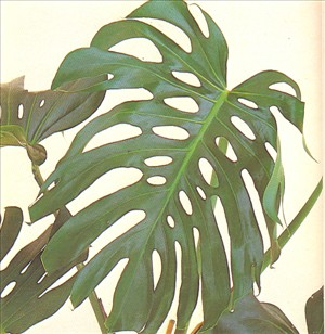 Fingerphilodendron - Monstera deliciosa - pasning