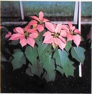 Julestjerne - Euphorbia pulcherrima (syn. Poinsettia)
